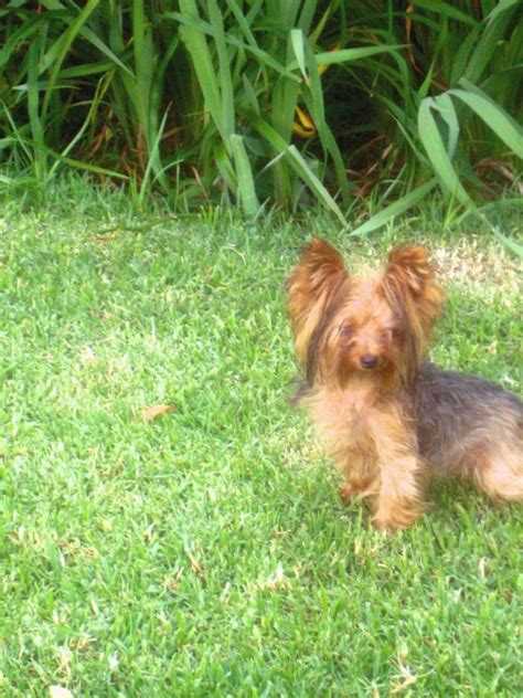 different sizes of yorkies gallery mijoy yorkies and mijoy biewers