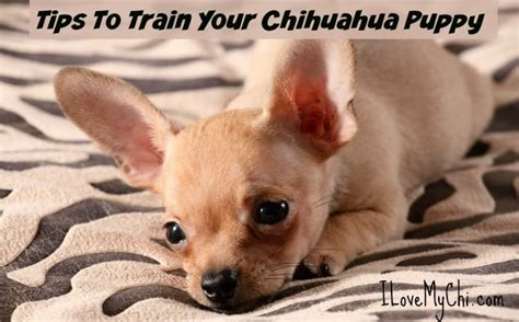 how to house train a chihuahua tips to train your chihuahua puppy i love my chi