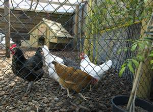 Keeping Free Range Chickens In Your Backyard Keeping Free Range Chickens In Your Backyard Thinking Of Keeping Hens In The Garden Here S Why