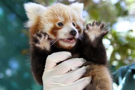 40 Adorable red panda pictures (40 pics)   Amazing Creatures