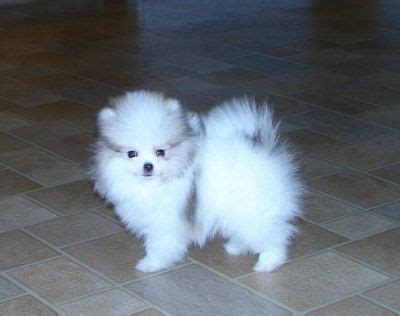 pomeranian breeders montreal new litter tiny micro teacup pomeranian puppies stunning text us at 707 744 6166