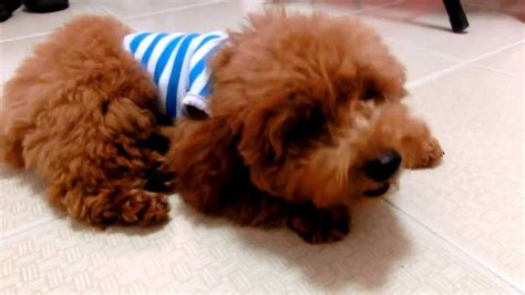 can my teacup poodle get the standard poodle haircut amber toy poodle 5 months old youtube