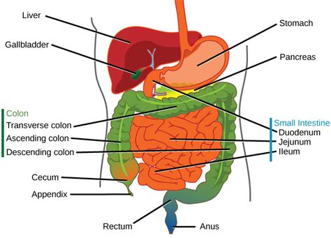 what is the first section of the large intestine 11 2 digestive system concepts of biology 1st canadian