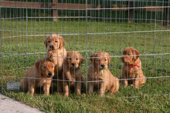 golden retriever speaker mr speaker golden retriever pedigree rivercross a