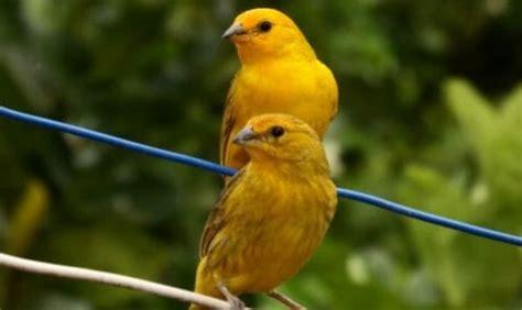 canarino alimentazione canarino aspetto carattere e principali esigenze