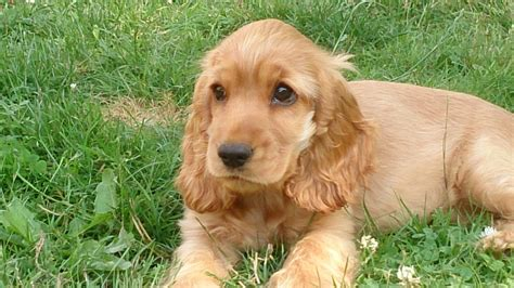 golden retriever x cocker spaniel puppies for sale golden cocker retriever for
