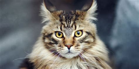 Maine Coon   Information, Characteristics, Facts, Names