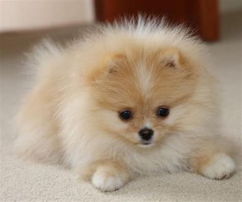 how much is a teacup pomeranian puppy 25 best ideas about teacup pomeranian on teacup pomeranian puppy teacup