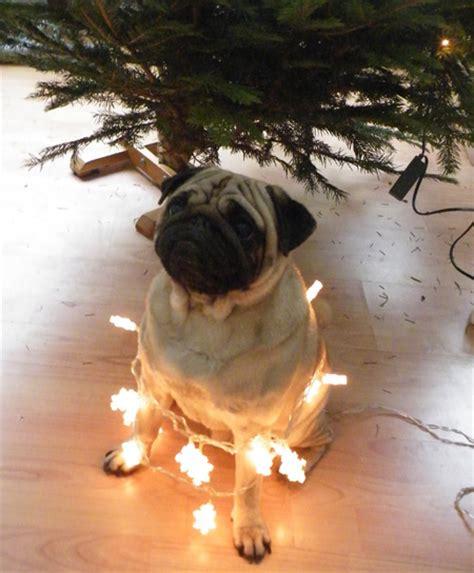 pug christmas tree the 12 pugs of