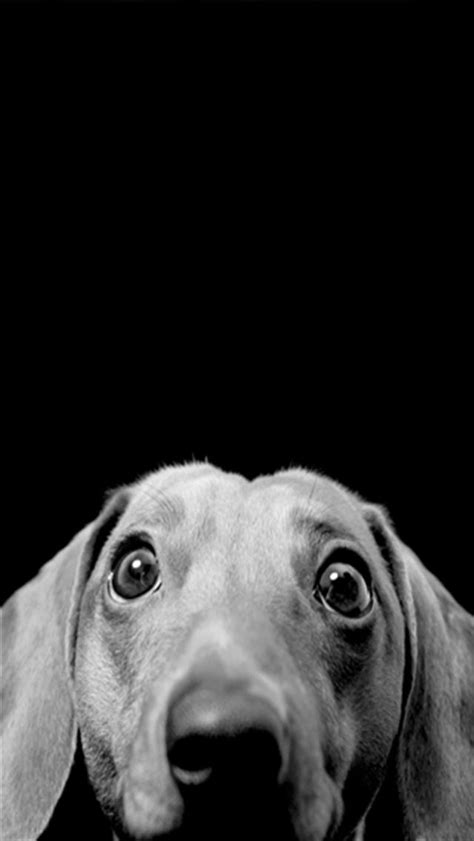 wallpaper iphone 5 dog curious dog 4 animal iphone wallpapers iphone 5 s 4 s