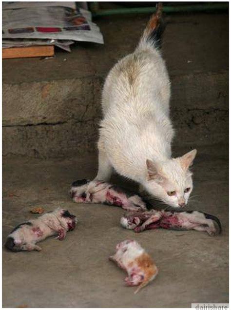 Sisir Logam Untuk Kucing gambar menyayat hati ibu kucing meratapi kematian anaknya yang di bunuh dairishare