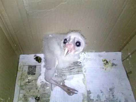 Barn Baby baby barn owl scream