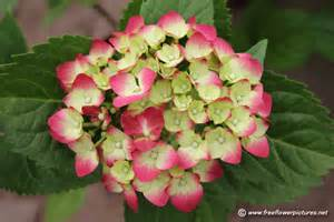 red hydrangea flower picture flower pictures 5172