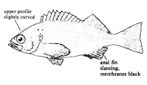 coloring pages rockfish california marine sportfish identification rockfish