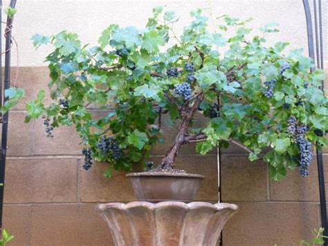 Cabernet Grapevine Bonsai It Or It by Grape Bonsai Cabernet Sauvignon Grape Bonsai