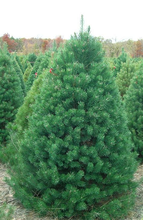 Attractive Scotch Pine Artificial Christmas Tree #2: Scotch-Pine-262-7002-7004-7006-7008.jpg