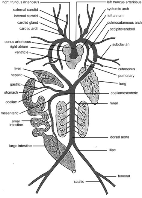 respiratory system of frog diagram standard note arterial system of frog