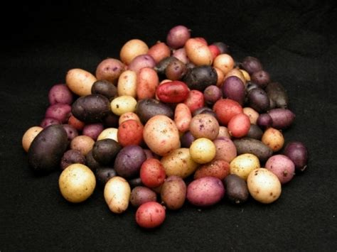 Potato Gene by Candidate Gene Approach To Identify An Economically