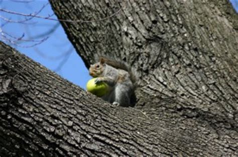 keep squirrels fruit trees how to keep squirrels out of fruit trees how to stop