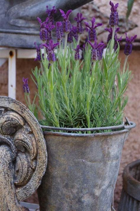 container gardening pretty lavender garden - Lavender Container Garden