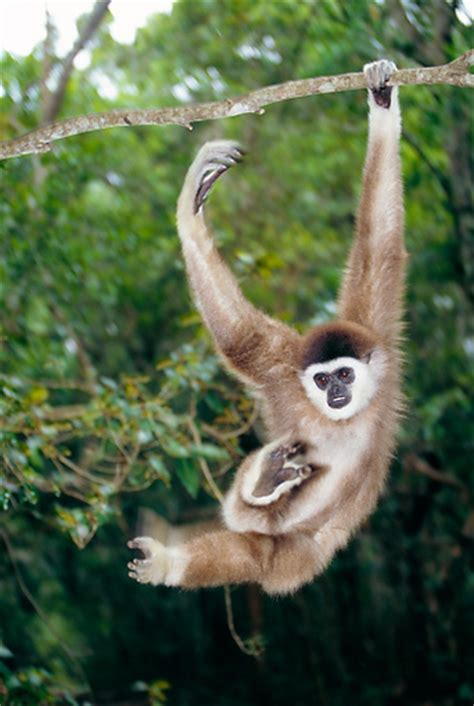 picture of a monkey swinging from a tree swinging animal stock photos kimballstock