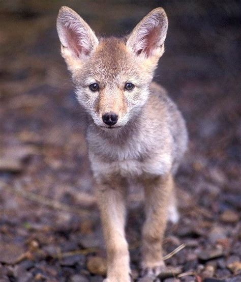 facts about coyote cubs apexwallpapers com baby coyote pictures photo baby coyote baby coyote for