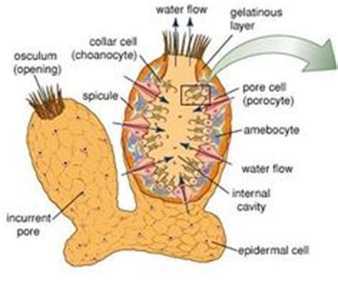 sponge external anatomy diagram 1000 images about phylum porifera on the