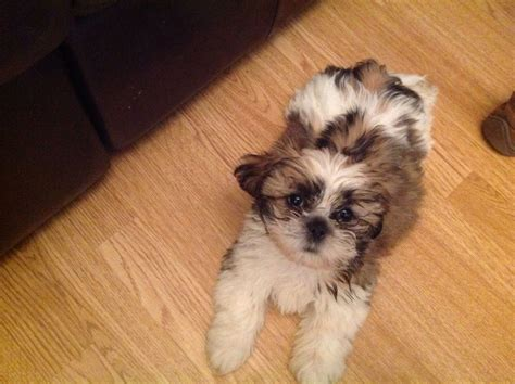 shih tzu for sale in dallas pug puppies for sale fort worth breeds picture