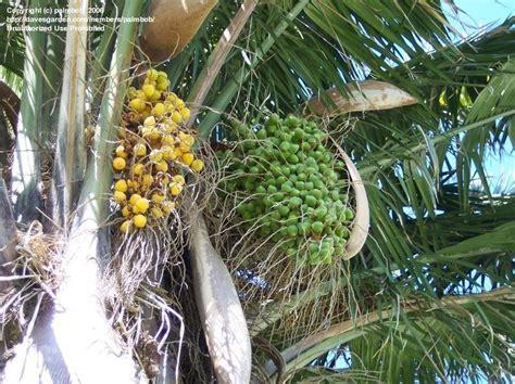 fruit trees los angeles plantfiles pictures chilean wine palm coquito de chile