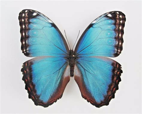 Plus Black Butterfly L one real butterfly blue black morpho peleides unmounted wings closed ebay