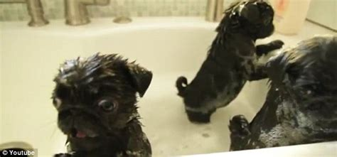 pug getting a bath alert pug puppies take a bath daily mail