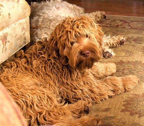 labradoodle puppies ma berkshire australian labradoodles