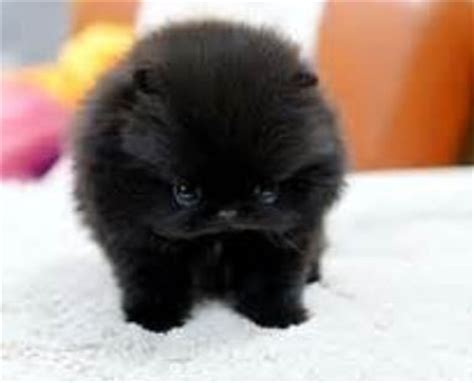 black teddy pomeranian teacup teddy pomeranian black cotton puppy jpg