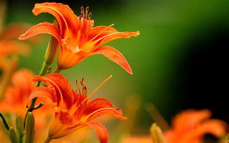 Orange Flowery lilies flowers orange flowers wallpapers hd desktop