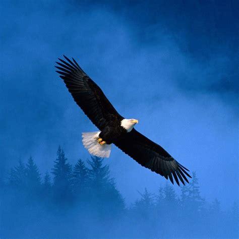 flight  freedom bald eagle ipad wallpapers