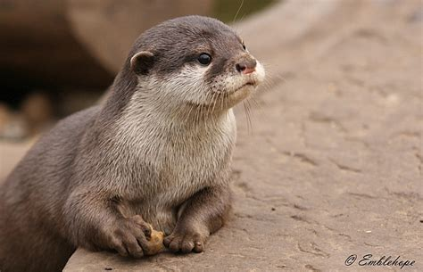 baby asian short clawed otter zoochat