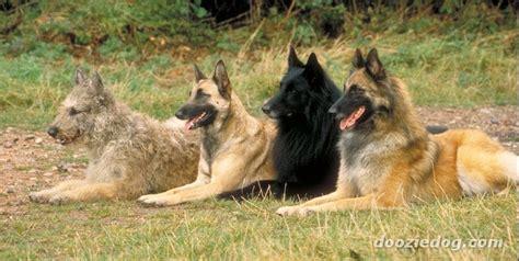 types of sheep dogs 4 types belgian sheepdogs jpg