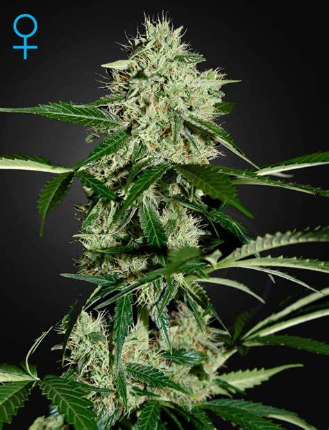 Northern Lights Seeds Greenhouse Seeds Northern Lights Auto Feminized Cannabis
