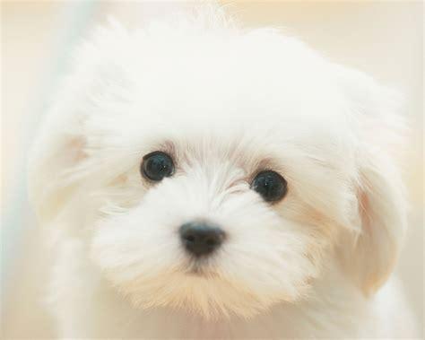 lovely white lovely white dog photo wallpaper 1280x1024 13735