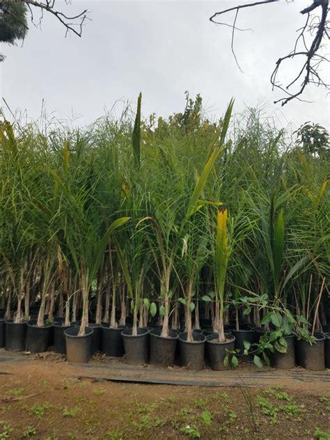queen palms dark green  nice approx    feet tall