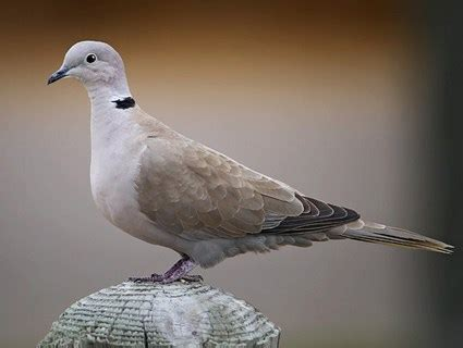 grey dove with black ring around neck eurasian collared dove identification all about birds cornell lab of ornithology