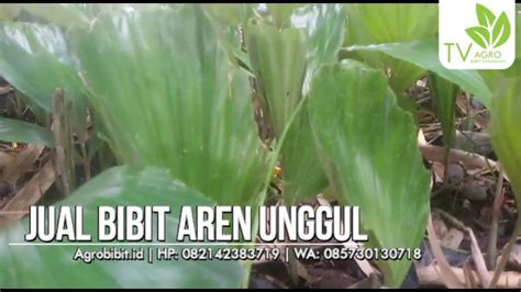 Jual Bibit Aren Di Riau jual bibit aren murah jual bibit murah