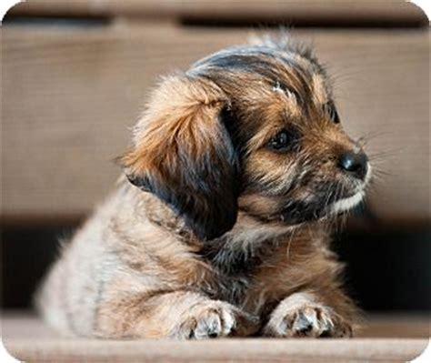 shih tzu rescue in michigan bradley adopted puppy battle creek mi poodle shih tzu mix