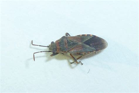 bed bugs in boise area by kirk dean elm seed bugs are back barrier pest control