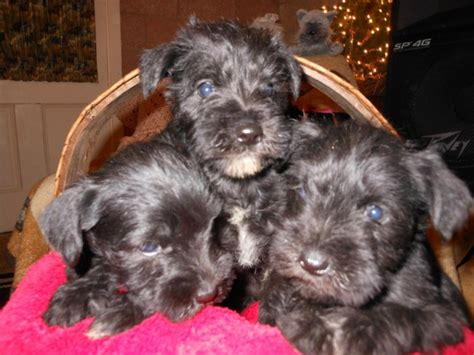miniature schnauzer puppies for sale in iowa dogs muscatine ia free classified ads