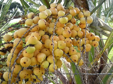 jelly palm or wine palm butia capitata - Edible Palm Tree Fruit