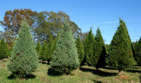 selecting  christmas tree home garden information center