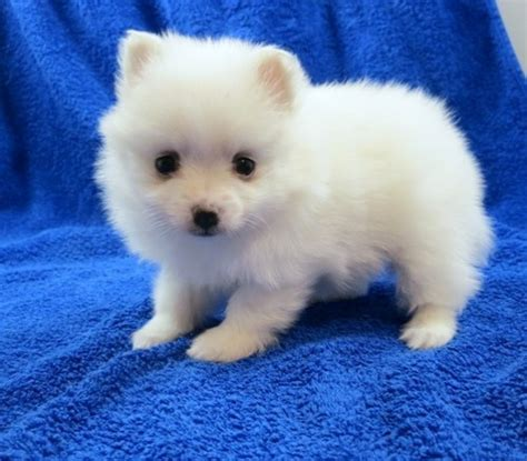 teacup pomeranian puppies for sale brisbane tiny teacup pomeranian puppies for sale 500 brisbane pets