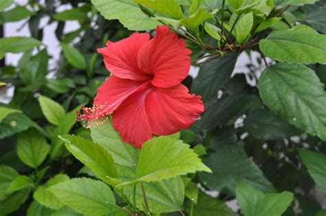 Green Borneo Gb 04 are hibiscus leaves poisonous to birds