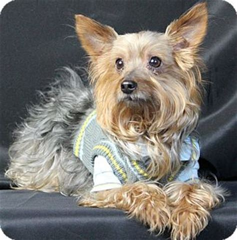 yorkie rescue in maryland baltimore md yorkie terrier mix meet moochie a for adoption